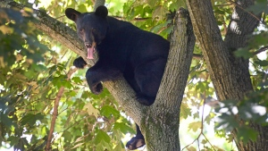 A young male bear sits in a tree in Paramus, N.J. on June 22, 2016. (Tariq Zehawi/The Record of Bergen County via AP)