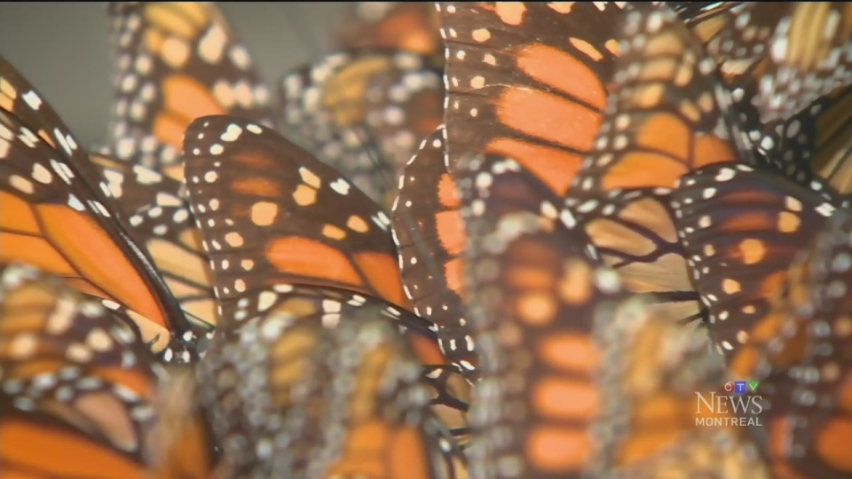 Monarch butterflies are considered a threatened species