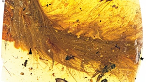 Canadian researcher has helped identify a 99-million-year-old dinosaur tail which has been preserved in amber. (Source: Current Biology)