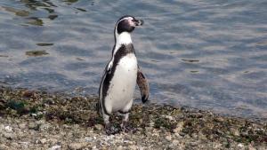 In this photo taken April 2, 2012, a Humboldt penguin walks along the coast of Pajaro Nino Island, Chile. (AP Photo / Paulina Arce)