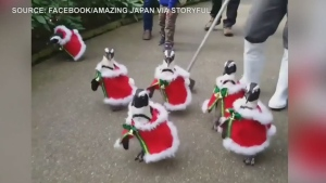 CTV News Channel: Penguins dressing the part