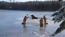 CTV Atlantic: Moose rescued from Shediac River