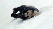 Extended: Panda frolics in the snow at Toronto Zoo