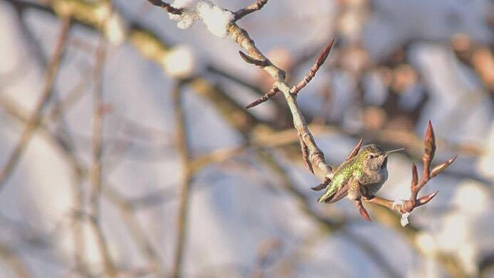 Harsh winter weather on British Columbia's south coast has frozen out the area's resident hummingbirds. (Handout/Suzane Sevigny)