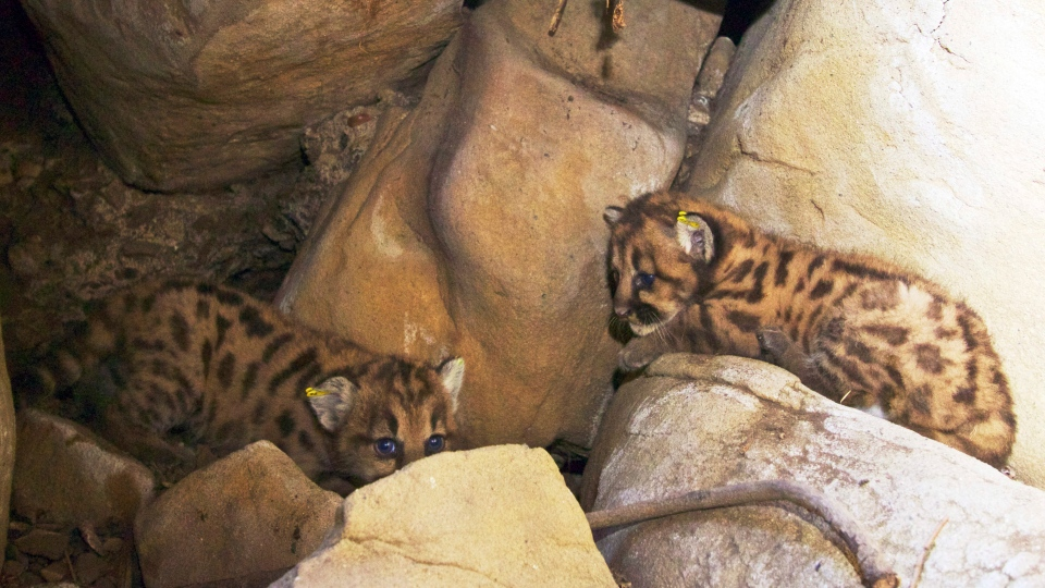 This May 30, 2015 photo taken by the National Park Service shows two of a litter of kittens born to an adult female mountain lion, known as P-39, not shown, in the Santa Susana Mountains that forms the northern border of the Los Angeles metropolitan area in the Santa Monica Mountains National Recreation Area. (National Park Service via AP)