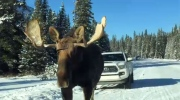 Moose approaches vehicle in Kananaskis Country