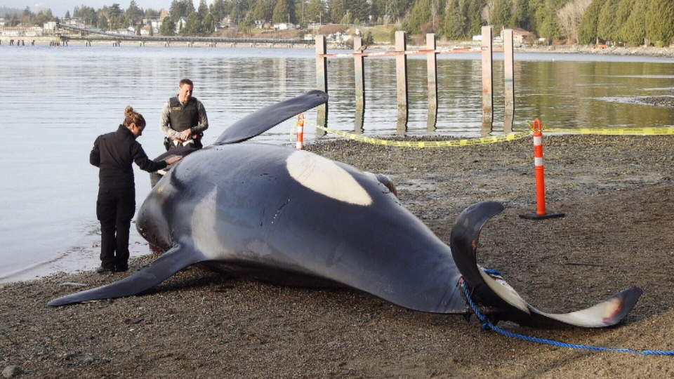 The Department of Fisheries and Oceans confirmed J34, an 18-year-old orca, was found dead near Sechelt on Dec. 20, 2016. (Photo courtesy Graham Moore)