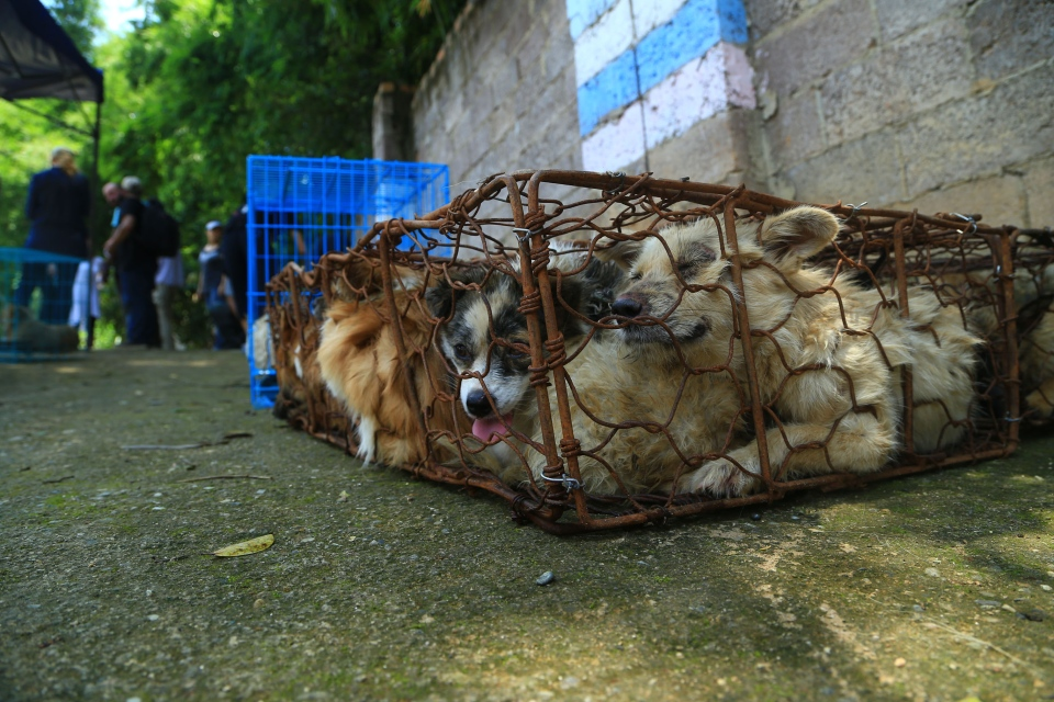 The dogs are seen in China prior to their rescue by HSI. (VShine/VShine)