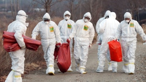 n this Monday, Dec. 26, 2016 photo, health officials wearing protective suits carry a sack containing killed chickens after they were slaughtered at a chicken farm where a suspected case of bird flu was reported in Incheon, South Korea. Aout 26 million head of poultry will be culled by Wednesday including about one-third of the country's egg-laying hens after the H5N6 strain of avian influenza was found in farms and parks. (Yun Tae-hyun/Yonhap via AP)