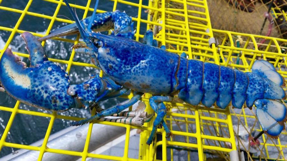 A blue lobster is seen in this undated photo. (Murray GM Yarmouth & Barrington/Facebook)