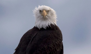 A bald eagle is seen along the Harrison River in Harrison Mills, B.C. Wednesday, Nov. 23, 2016. (THE CANADIAN PRESS/Jonathan Hayward)