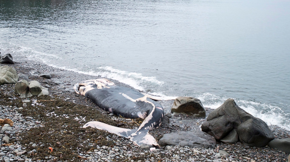 A decaying nine-metre humpback whale carcass is washed up in Whale Cove, N.S. on Thursday, Dec. 29, 2016. (Andrew Vaughan / THE CANADIAN PRESS)