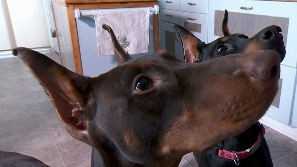 Quebec Bans Aesthetic Clipping Of Dogs Tails Ears Ctv News