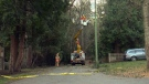 Crews work on restoring power after a tree toppled onto a power line in Cordova Bay Monday, Jan. 2, 2016. (CTV Vancouver Island)
