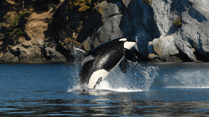 J2 granny orca killer whale