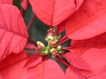 This undated photo shows a poinsettia flower in New Paltz, N.Y. (Lee Reich via AP)