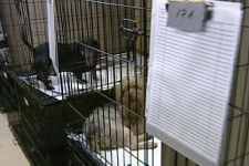 About 60 small dogs, voluntarily handed over to the Montreal SPCA by a puppy mill owner, are now in the care of volunteers at the shelter. (Feb. 28, 2009)