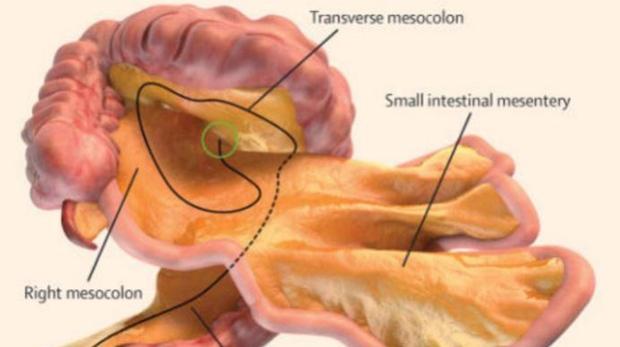 Mesentery: Brand-new organ identified inside human body | CTV News