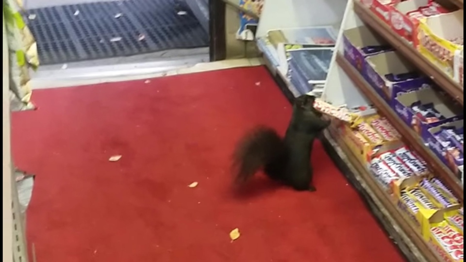 A squirrel is shown snatching a Crunchie bar from a display shelf at a convenience store in Toronto, on Oct. 8, 2016. (YouTube / StopThatSquirrel DropThatBar)