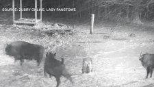Wolves chase bison in Poland