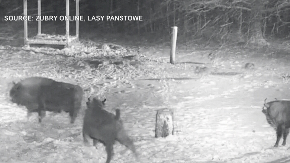 An online camera captured this image of a pack of wolves chasing a herd of bison in eastern Poland on Wednesday, Jan. 4, 2017. (Zubry Online / Lasy Panstowe)
