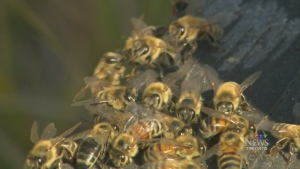 Bees are show in this file photo.