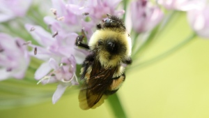 A rusty patched bumblebee in Minnesota in 2012. (Sarina Jepsen / The Xerces Society via AP)