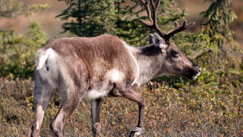 A caribou browses in wetlands in Kenai, Alaska in this Sept. 6, 2012, photo. (THE CANADIAN PRESS/AP/Peninsula Clarion, M. Scott Moon)