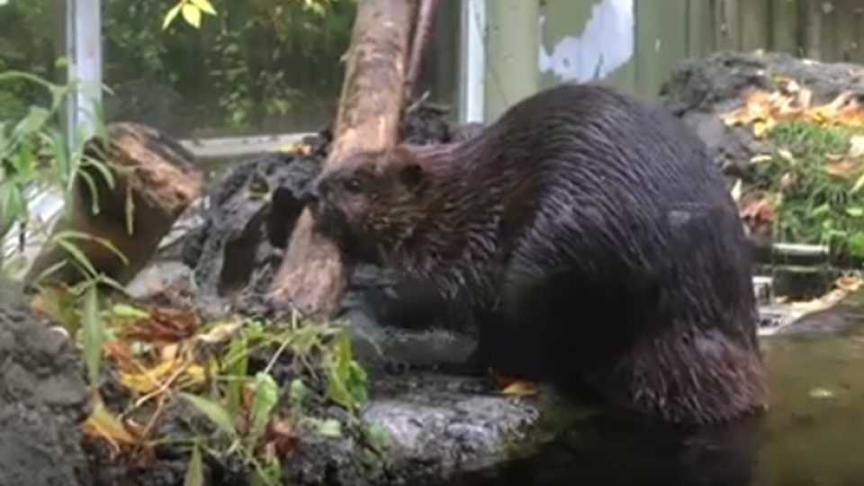 'Ward' the beaver is seen in this image from video. (YouTube / SickKidsInteractive)