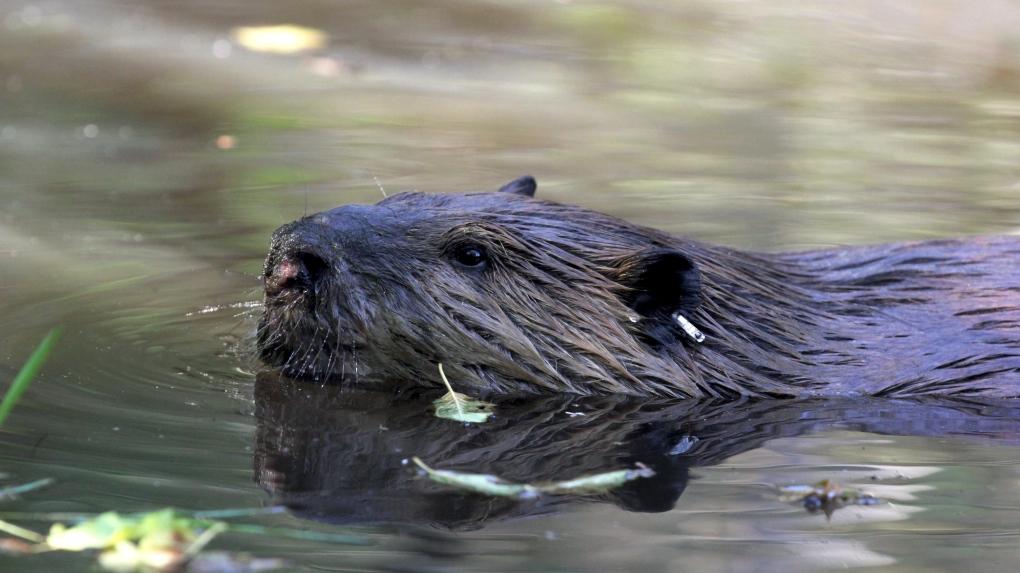 Nature up close: Beavers, the master engineers - CBS News | 573x1020