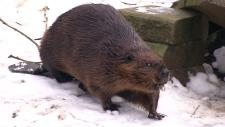 'Ward' the beaver