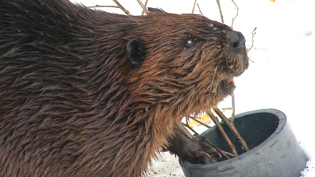 CTV National News: Decoding the beaver's genome
