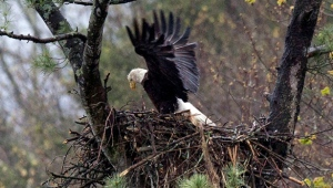 FILE - In this May 4, 2016 file photo, spring rain falls on an eagle stretching its wings while on the nest Hinsdale, N.H. Audubon Society bird counters found the number of bald eagles in 2015 were double the 1995 count. (AP Photo/Jim Cole, File)