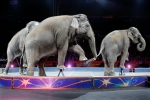 In this May 1, 2016 file photo, Asian elephants perform for the final time in the Ringling Bros. and Barnum & Bailey Circus in Providence, R.I. (AP / Bill Sikes)