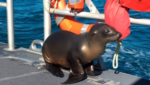 In this Saturday, Jan. 14, 2017 photo released by the U.S. Coast Guard Station Los Angeles, a sea lion hitches a ride on a US Coast Guard boat crew off the coast of Newport Beach, Calif.  (U.S. Coast Guard via AP)