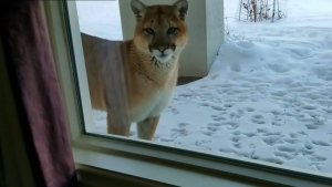 Calgary cougar on cam