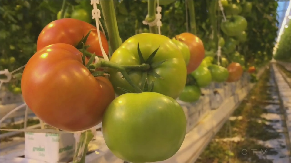 Big Marble Farms, based in Medicine Hat, has taken to packaging its produce in more environmentally-friendly containers. (File)