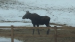 CTV Barrie: Moose visits Minesing