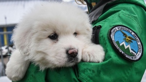 An Italian Forestry Corp officer officer holds one of three puppies that were found alive in the rubble of the avalanche-hit Hotel Rigopiano, near Farindola, central Italy, Monday, Jan. 22, 2017.  (Alessandro Di Meo/ANSA via AP)
