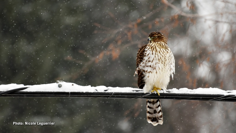 This photo was captured from my window yesterday afternoon. The hawks usually roam around in the neighbourhood as our property is on the Greenbelt, but they don't usual come so close to the houses. (Nicole Leguerrier/CTV Viewer)