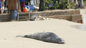 A Hawaiian monk seal, an endangered species, is seen on a Waikiki beach in Honolulu on Sept. 15, 2016. (AP / Audrey McAvoy)