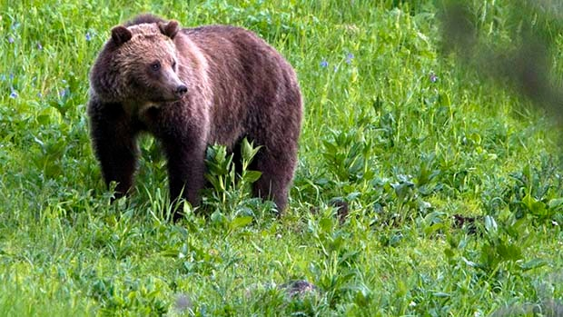 This July 6, 2011 file photo shows a grizzly bear roaming near Beaver Lake in Yellowstone National Park, Wyo.  THE CANADIAN PRESS/AP/Jim Urquhart, File