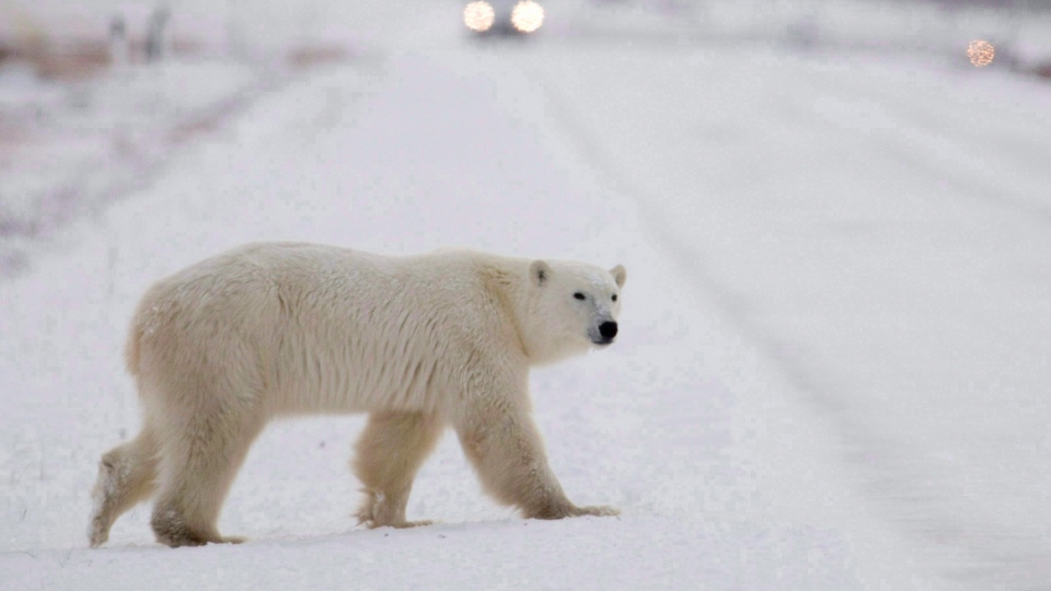 A polar bear is seen walking across the street in Churchill, Man. as the Olympic Flame arrives in town Sunday, Nov. 8, 2009. (THE CANADIAN PRESS/Jonathan Hayward)