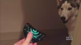 Husky doesn't trust owner's hair clip