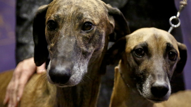 New dog breeds joining Westminster dog show