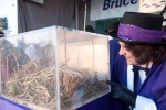 Wiarton Mayor Janice Jackson attempts to wake up Wiarton Willie in Wiarton, Ont. on Tuesday, Feb. 2, 2016. Wiarton Willie then woke up and predicted six more weeks of winter. (Hannah Yoon / The Canadian Press)