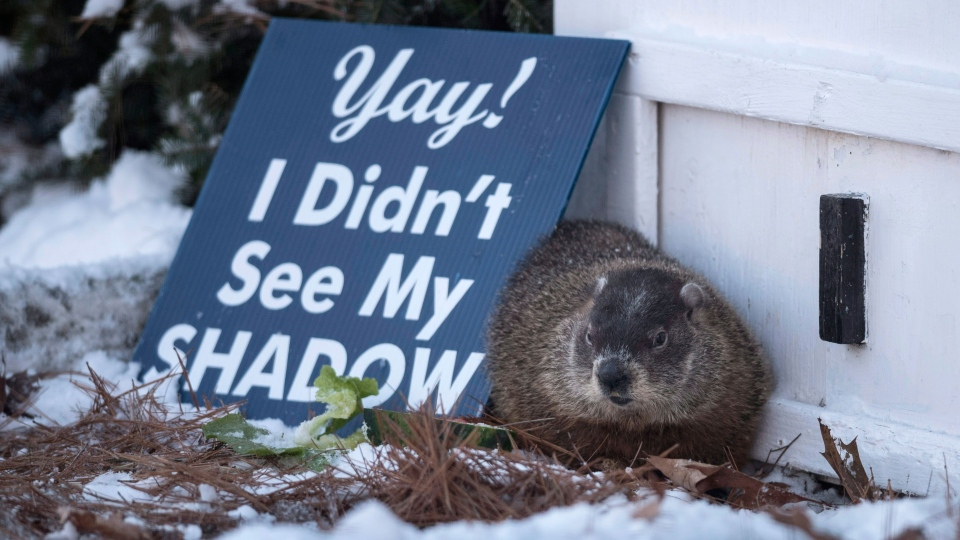 Shubenacadie Sam predicts an early Spring after emerging from his burrow at the wildlife park in Shubenacadie, N.S. on Thursday, Feb. 2, 2017.  (Darren Calabrese / THE CANADIAN PRESS)