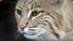 This photo provided by the Smithsonian's National Zoo shows Ollie, a female bobcat at the zoo. (Barbara Statas / Smithsonian's National Zoo via AP, File)