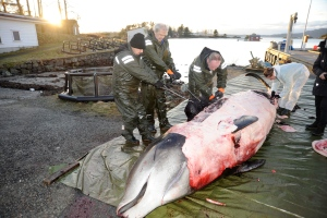 In this handout photo from the University of Bergen taken on Tuesday, Jan. 31, 2017, researchers from the university begin dissecting a two-ton whale that was beached in shallow waters off Sotra, an island west of Bergen, some 200 kilometers (125 miles) northwest of Oslo. (University of Bergen via AP)