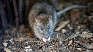 File photo of a rat taken Friday, Dec. 9, 2016. (AP Photo / Francois Mori)